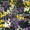 Viol Mini- 'Bedding Supreme Mix'