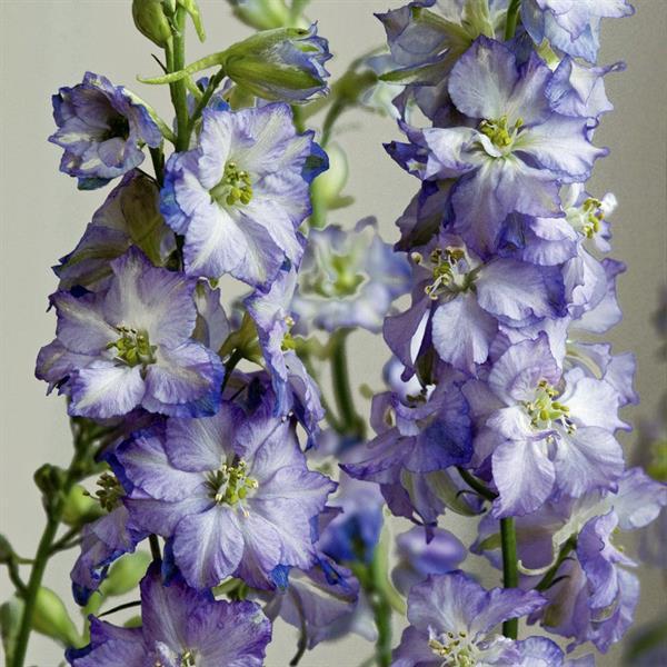 Riddarsporre Sommar- 'Fancy Purple Picotee'