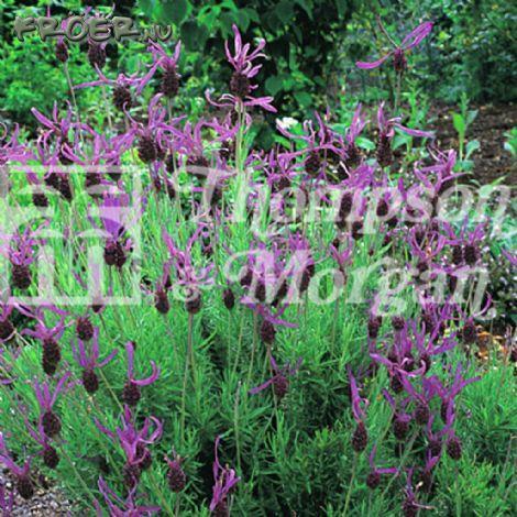 Lavendel Skärm-