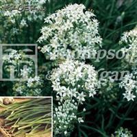 Gräslök Vitlöks- 'Garlic'