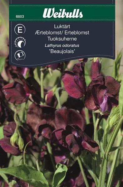 Luktärt 'Beaujolais'