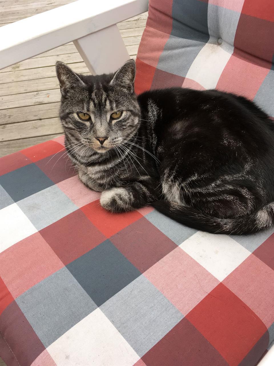 Stor grårandig katt med namnet Semmi