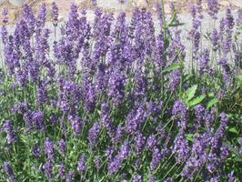 Lavendel Hidcote  Blue vår försäljning