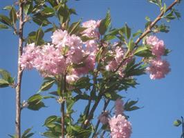 Prunus Kanzan/stam