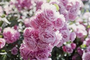 Ruusu 2