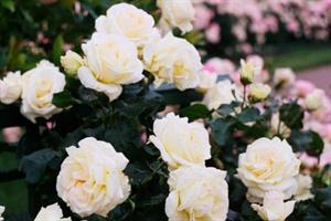 Ruusu 4