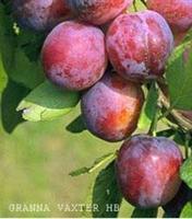 Opal busk