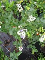 Blåbär Vaccinum Blue Crop