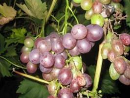 Vindruvor Schuyler
