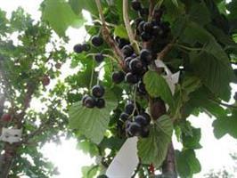 Vinbär svart Titania