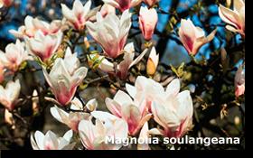 Magnolia soulangeana 60 cm