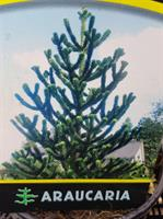 Araucaria Aracana