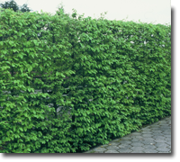 Carpinus betulus 50-80