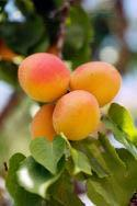 Apricos Harcot