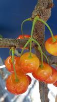 Fryksås Bigarrå gulröd