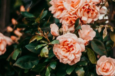 Ruusu 1
