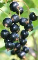 Vinbär Öjebyn Stam slutsålda