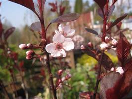 Prunus cer cistena