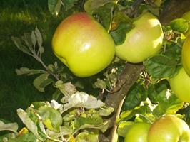 Eriksäpple nyhet höst vinter äpple