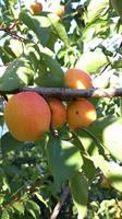 Apricos Orangered slutsålda