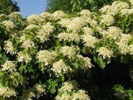 Hydrangia petiolaris co slutsålda