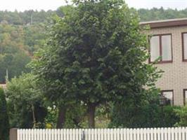 Tilia crdata Grenspire/ungträd