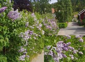 Syringa vulgaris 50-80