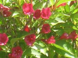 Weigela Red Prince co 5 liter