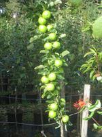 Pelarträd Bolero slutsålt vår 21