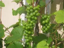 Vindruvor Heimrod