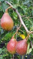 Äkta Gränna rödpäron co slut åter höst