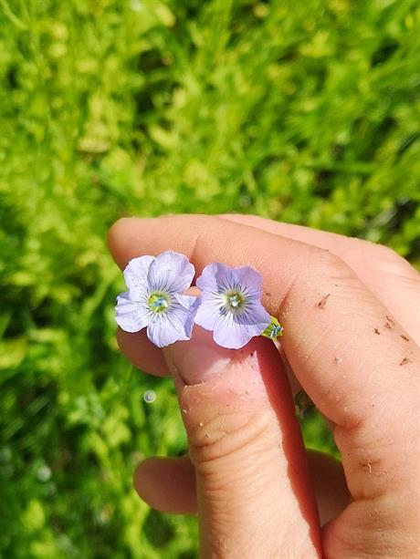 Fakta om lin - et miljøvennlig naturmateriale