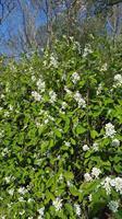 Amelanchier spicata slutsålda