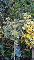 Euoymus Emerald Gaiety stam60-80 cmm