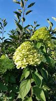 Hydrangea Limelight/stam