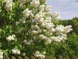 Syringa vulgaris alba/co slutsålt
