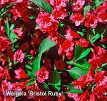 Weigela Bristol Ruby co