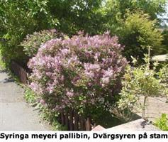 Syringa Palibin