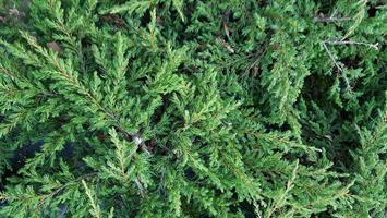 Juniperus repanda