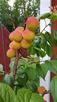 Aprikos Hargrand