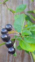 Aronia prunifolia 30-50 slutsålda
