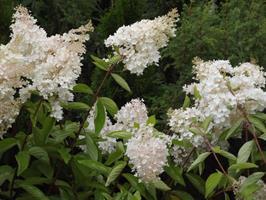 Hydrangia pan grandiflora slutsålda