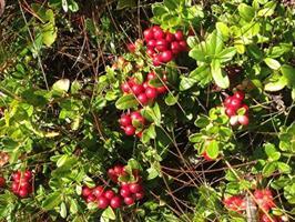 Lingon Vaccinium  vitis-idaea slutsålda vår 21