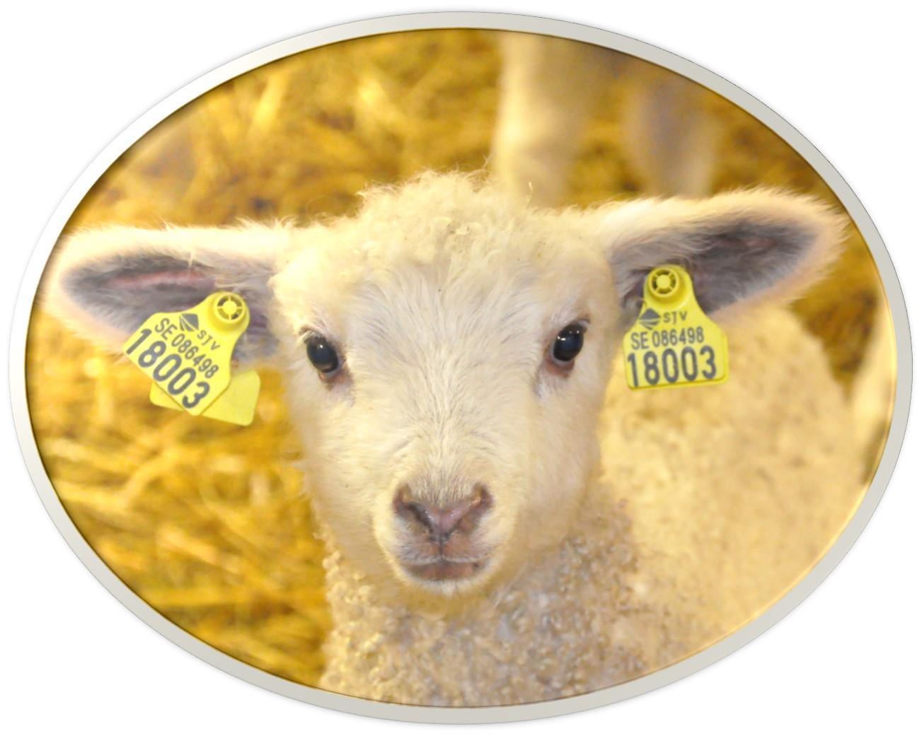 Lamm från Grävelsta