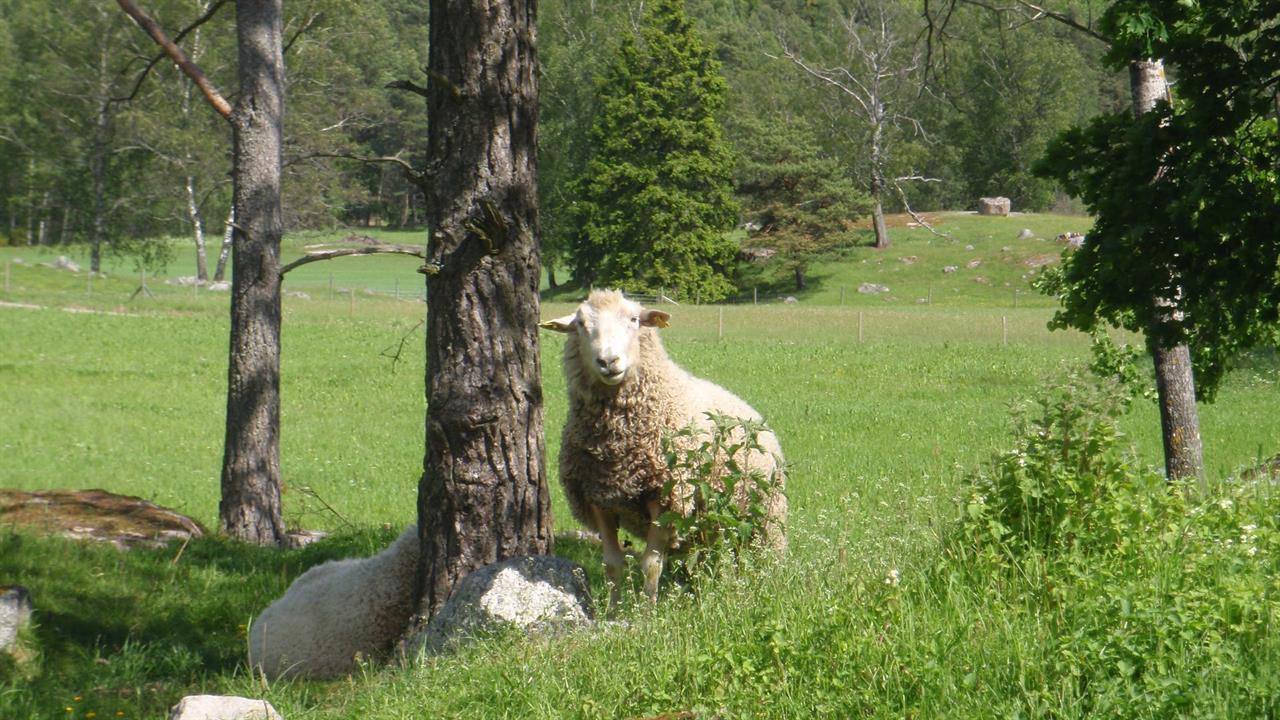 En av baggarna som är far till lammen som föddes våren 2015