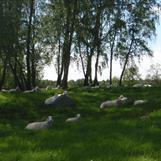 Björkbacken, ett av fårens favoritställen