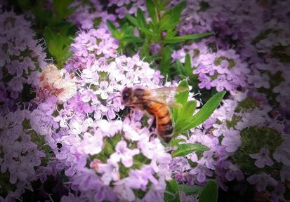 Bin från Grävelsta pollinerar växter och ger oss honung