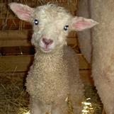 Första lammet som föddes 2014