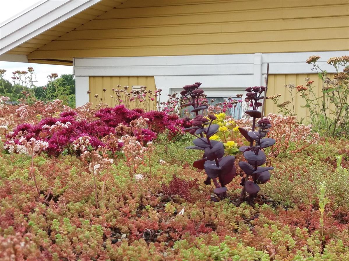 Blomstrande sedum och örter på en carport