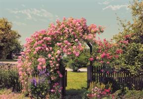 Komar fototapet Rose Garden